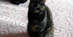 Европейская кошка черепахового окраса