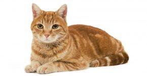 Европейская кошка красного окраса тэбби