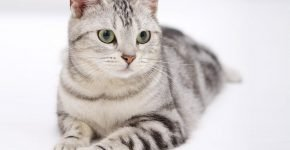 Европейская кошка серебристого тэбби окраса