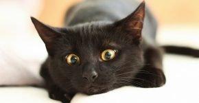 Чёрная кельтская кошка