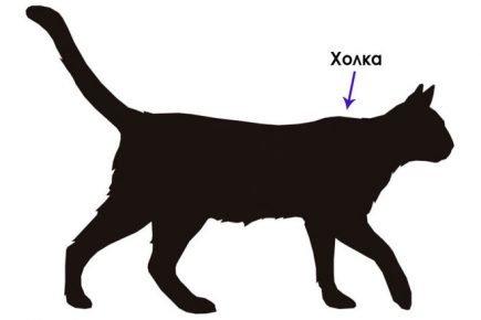 Холка у кошки