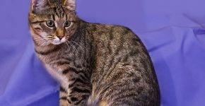 Европейская кошка камышового окраса