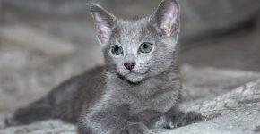 Котёнок русской голубой