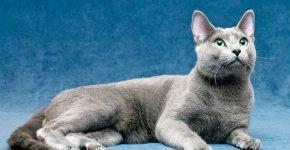 Русская голубая кошка лежит