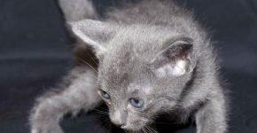 Котёнок корат
