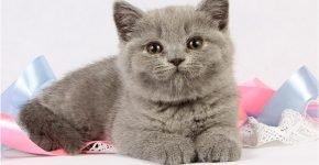 Кошечка британка