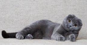 Шотландец лежит на диване