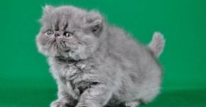Котёнок персидской породы