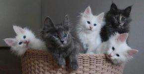 Котята ангоры