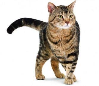 Кельтская кошка в полный рост