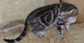 Кельтская кошка дымчатого окраса с пятнами