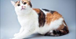 Европейская кошка окраса арлекин