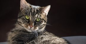 Кельтская кошка тэбби окраса с тиккингом