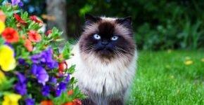 Гималайская кошка сидит в траве возле клумбы