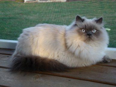 Гималайский кот сидит на деревянном полу