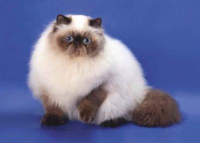Гималайская кошка сидит, подняв лапку, на синем фоне