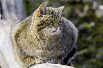 Лесной европейский кот в диких условиях