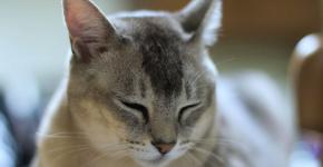 Серебристый окрас кошки породы бурмилла