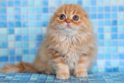Котёнок хайленд-фолд
