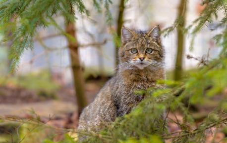 Дикий лесной кот вышел на охоту