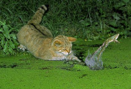 Лесной европейский кот и лягушка