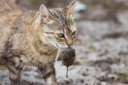 Дикий кот с добычей