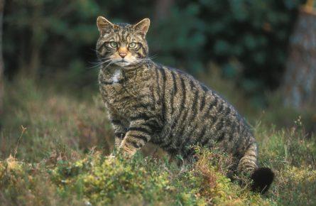 Дикий кот в лесу