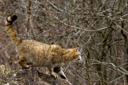 Кот перед прыжком