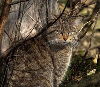 Лесной европейский кот в засаде