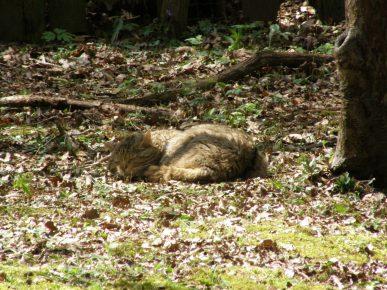 Спящий лесной кот