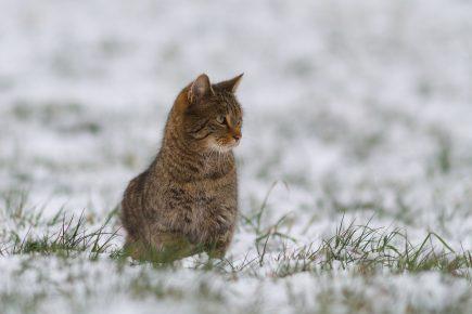 Лесной кот в зимнее время