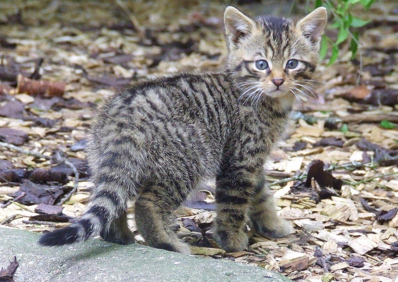 Лесные коты фото и названия
