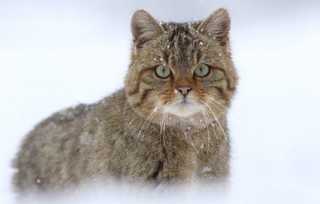 Взрослый лесной европейский кот