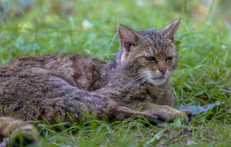 Старый лесной кот