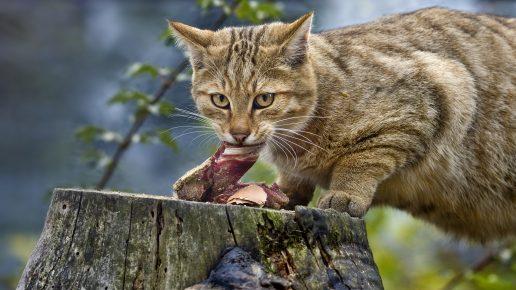 Кормление дикого лесного кота