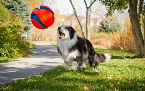 Собака играет с мячом