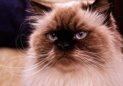 Морда гималайской кошки, глядящей вверх