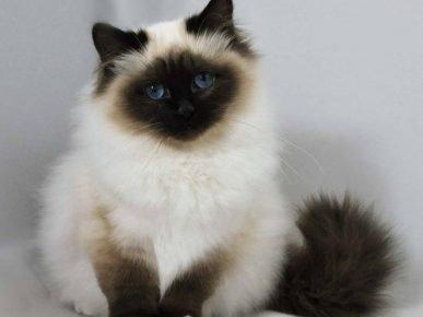 Гималайский кот с колор-пойнтовым окрасом