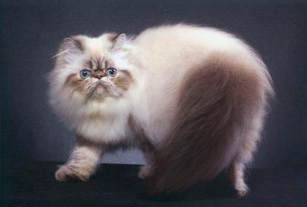 Гималайская кошка с окрасом табби-пойнт стоит на синем фоне, оглядываясь назад