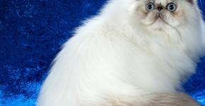 Гималайская кошка с окрасом блю-крим-пойнт сидит на голубом фоне, оглядываясь назад вверх
