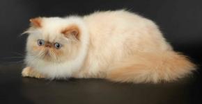 Гималайский кот с окрасом крим-пойнт лежит на сером фоне и смотрит вниз
