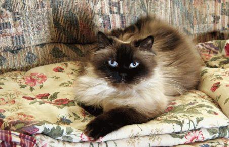 Гималайский кот лежит на цветном покрывале, поджав переднюю лапку
