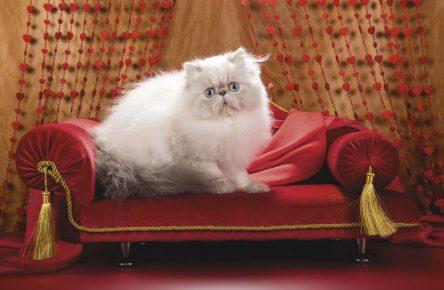 Гималайский котик сидит на красном диванчике с золотыми кистями за шторами в виде сердечек