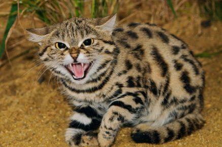 Угрожающая поза кота