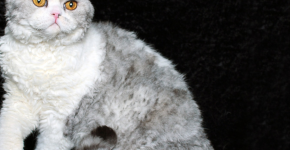 Селкирк бело-серебристый