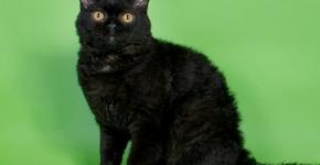 Селкирк чёрный
