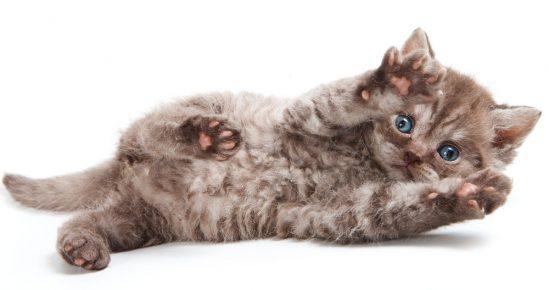 Котёнок селкирк рекса