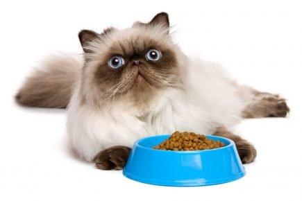 Гималайский кот лежит рядом с кормом в голубой миске