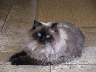 Гималайский кот окраса сил-пойнт лежит на плиточном полу, вытянув передние лапы