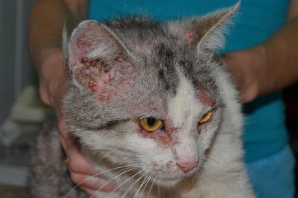 Аллергическая реакция у кошки